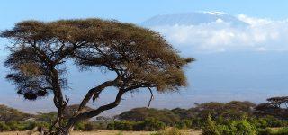 Africa's tallest tree is on Mount Kilimanjaro